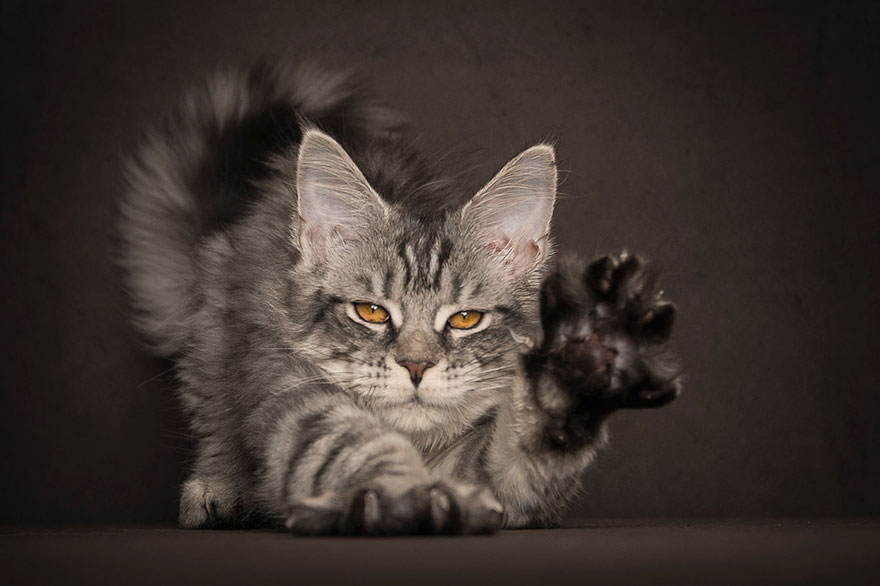 maine-coon-cat-photography-robert-sijka_15