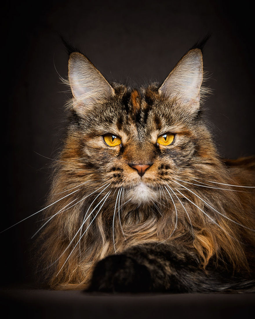 maine-coon-cat-photography-robert-sijka_25