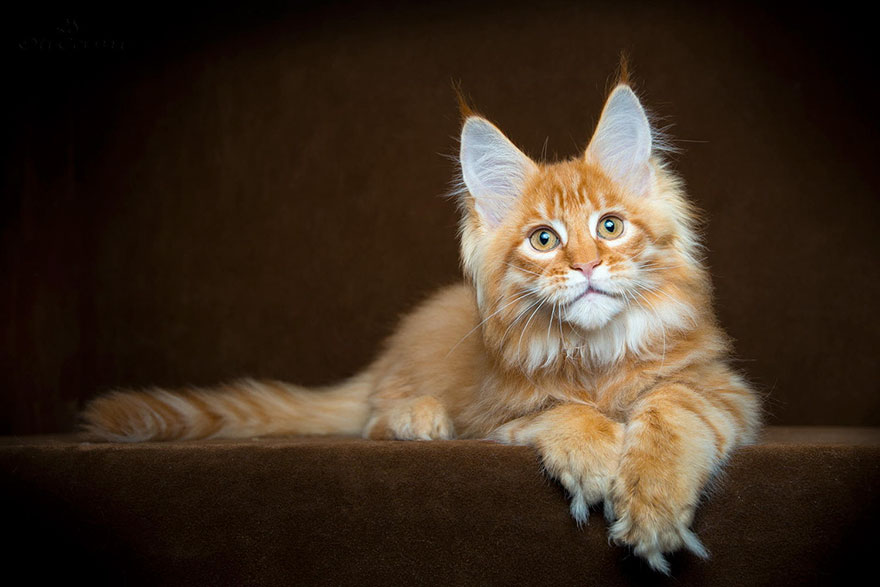 maine-coon-cat-photography-robert-sijka_26