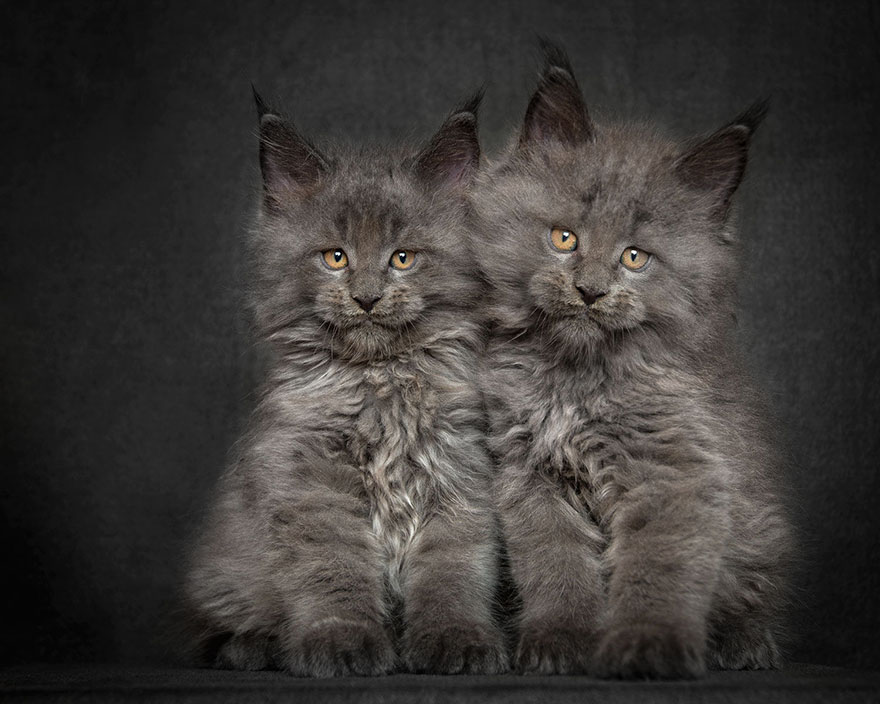 maine-coon-cat-photography-robert-sijka_27