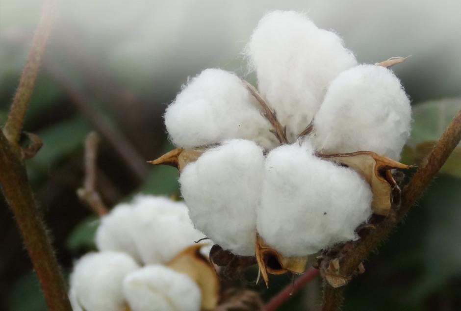 Organic-cotton-india