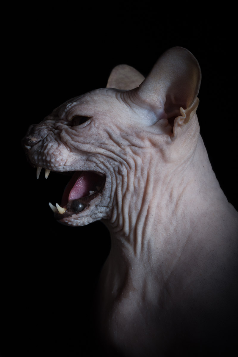 cat-hissing-photo-by-sphynx-cat-photographer-alicia-rius