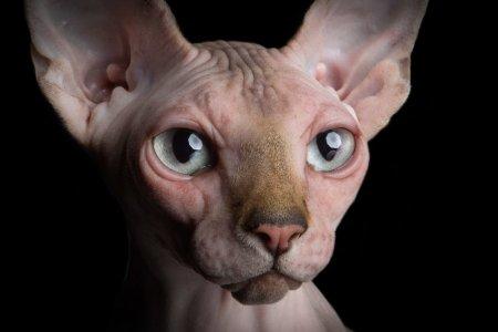 close-up-portrait-sphynx-hairless-cat-alicia-rius-animal-photographer